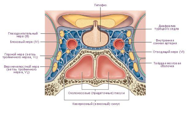 анатомия и кавернозный синус