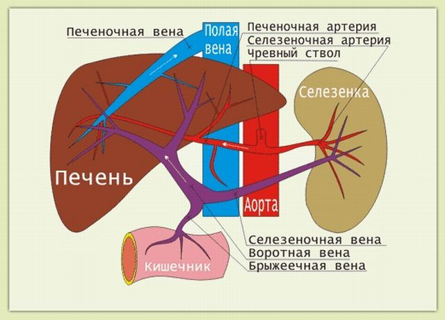 Кровоснабжение печени