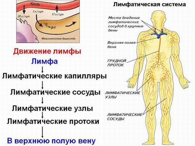 Кровоток лимфы