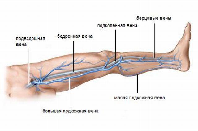 венозная система на ногах
